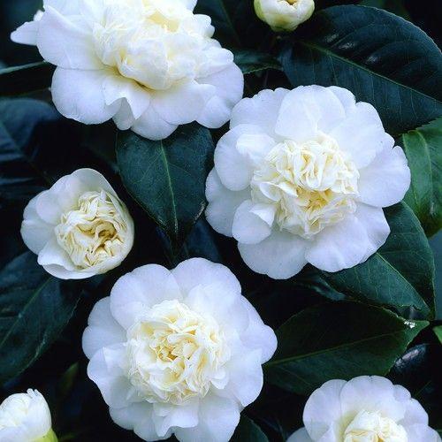 Camellia Japonica Wit In 2020 Bolbloemen Groene Bladeren Potplanten