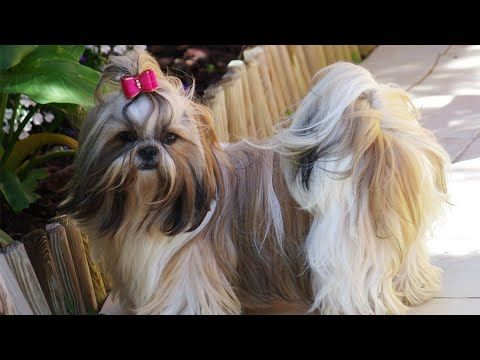 Showline Shihtzu Puppies Show Quality Champion Lines Top Shih Tzu Pups For Sale Best Ever Youtube Shih Tzu Shih Tzus Shih Tzu Puppy
