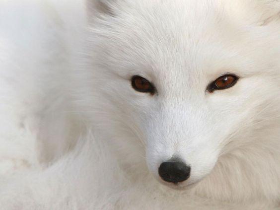 Cute Snow Animals Screensavers | Faça seu comentário sobre Imagens de Raposa, muitas espécies