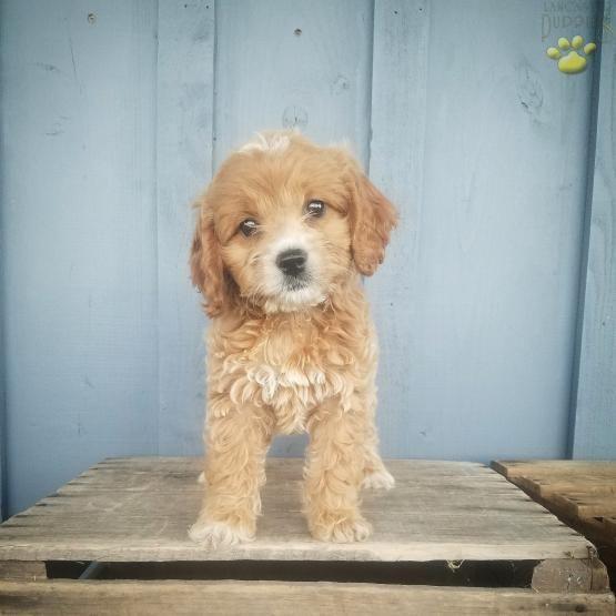 Ali Cockapoo Puppy For Sale In Mifflinburg Pa Lancaster