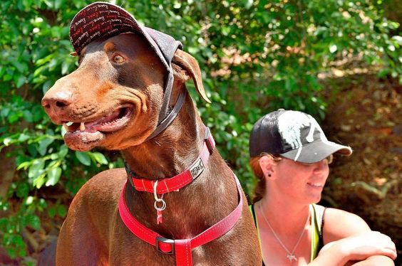 Teca hiking with his person Lauren.  Taken by her dad... #dogadventures #doghiking #hikingdog #doberman #hats #dog #dogsofinstagram #doghat by bbarkery2015 #lacyandpaws