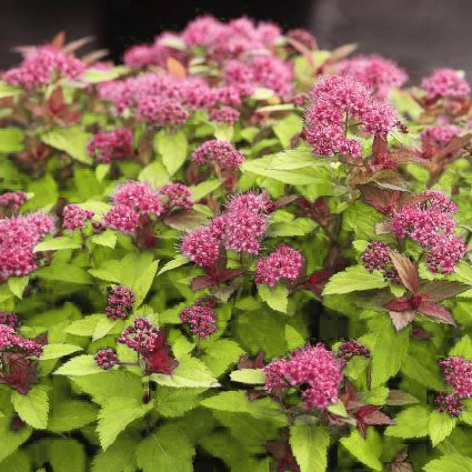 Magic Carpet Spirea Magic Carpet Spirea Spirea Plant Plants