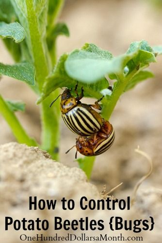 how to control potato beetles bugs companion planting will help to deter them from ever. Black Bedroom Furniture Sets. Home Design Ideas