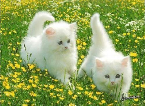 Pretty kitties white Persian kittens twins fluffy Cottonelle kittens