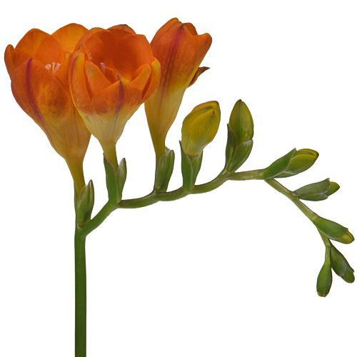 Orange Freesia Flower Fiftyflowers Com Freesia Flowers Flowers Freesia