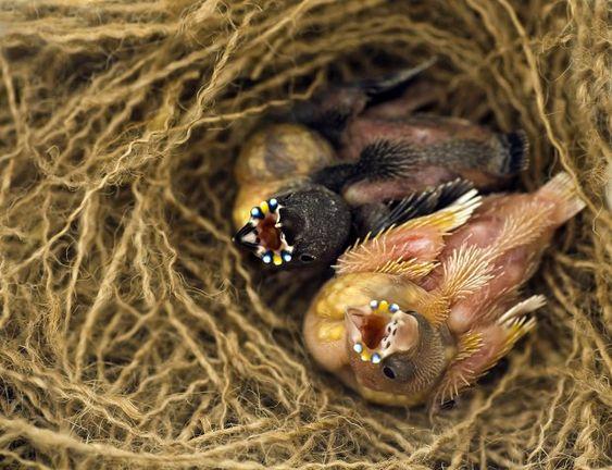 الجولديان فينش تعرف على اجمل عصفور في استراليا من خلال موضوع شامل طيور العرب Finch