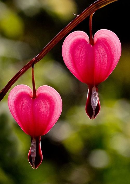 Bleeding Hearts - Photo by Rainer Fritz