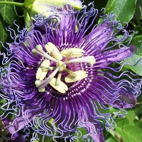 Purple Passion Flower Vine Seeds Passiflora Incarnata 30 Seeds With Images Flowering Vines Passion Flower Purple Passion Flower
