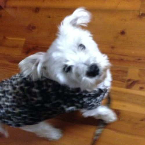 LOST: Snowy http://ow.ly/CPln9 Male, White, Scottish West Highland Terrier #Waitara #Sydney NSW #LostDogWaitara #LostDogSydney #LostDogNSW #LostPetFinders