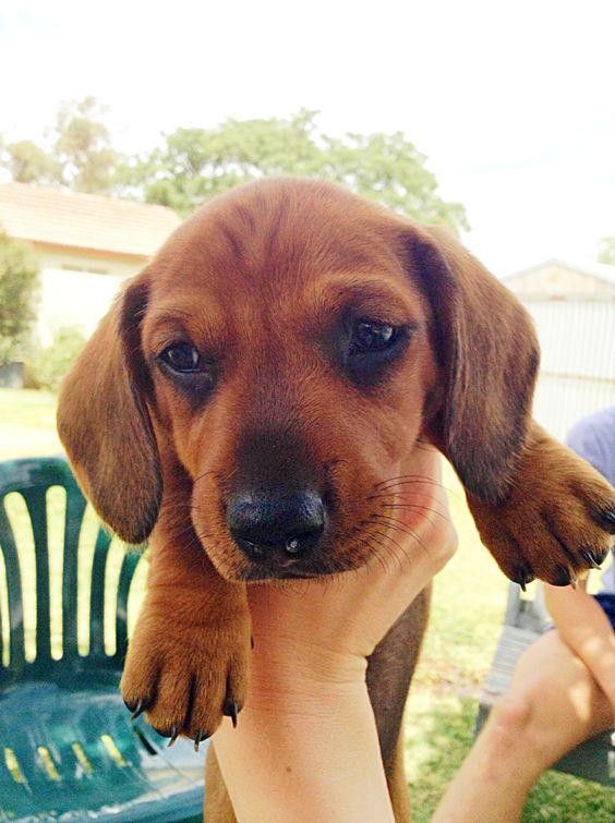 Dachshund puppy - so cute!