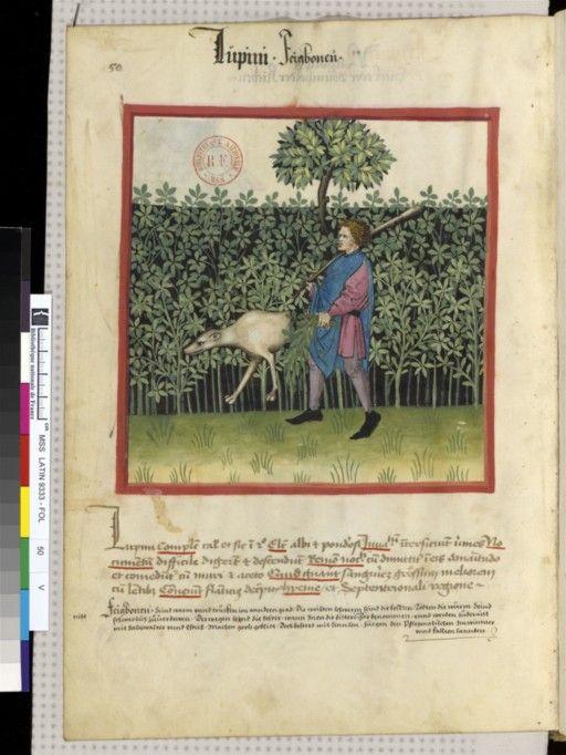 Tacuinum Sanitatis - BNF Ms. Latin 9333 Date: Rhineland, mid- 15th century.  fol 50v Feigbohne
