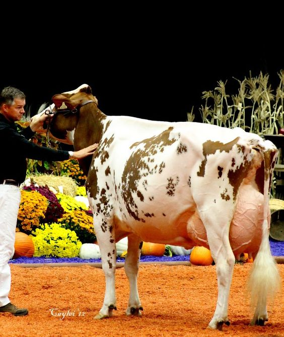 Holstein cow. Blondin Redman Seisme EX96. Grand Champion R