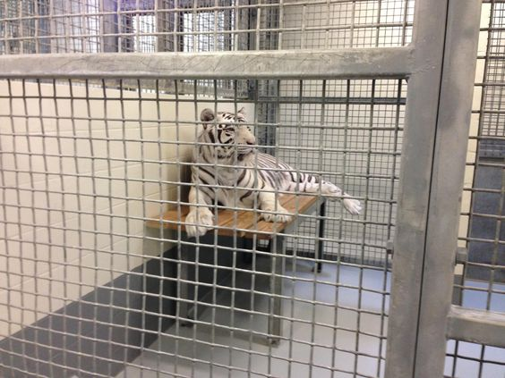 Protesters Call for Downtown Aquarium's White Tigers to Be Put in a Sanctuary