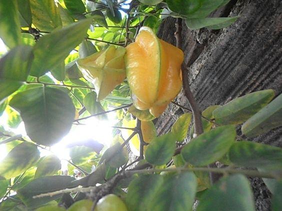 É uma fruta do Brasil
