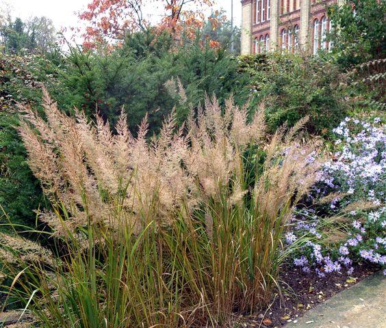 Das Diamant-Reitgras (Calamagrostis brachytricha) gehört im Spätsommer und Herbst zu den ansprechendsten Gräsern - einschließlich rötlicher Herbstfärbung des Laubes.