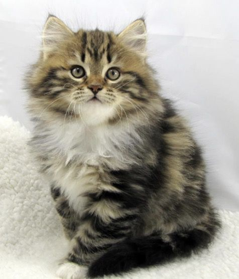 Hypoallergenic Siberian Forest Cat Female Siberian Kittens Beautiful Cats Cute Cats