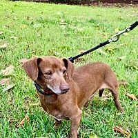 Beanie Weenie Tx Dachshund Adoption Pet Adoption Dachshund