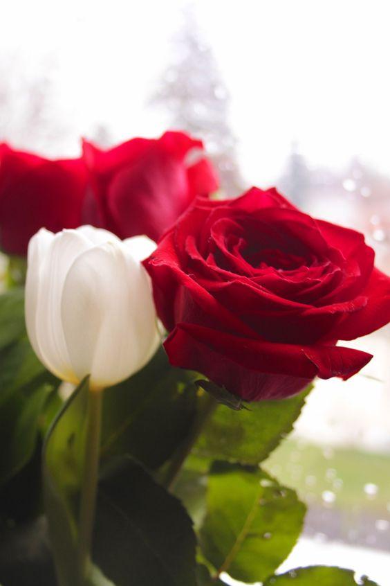 red rose - Pesquisa Google