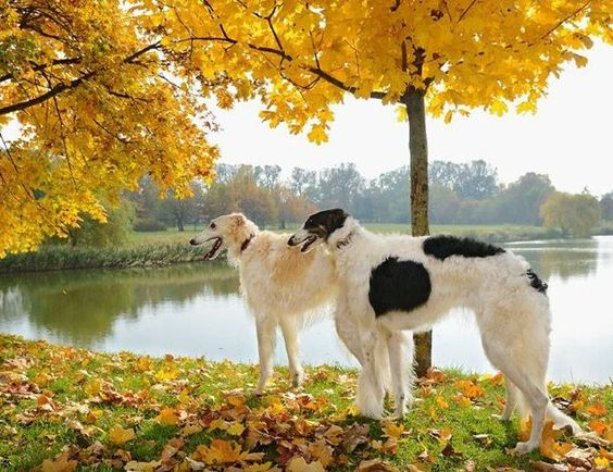 Two borzois in the autumn park. #borzoi #dogs #Russian