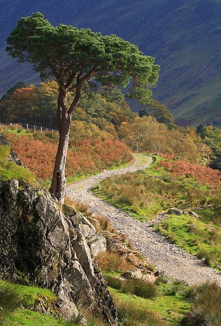 Pine Tree and track, Buttermere, Lake District, England (by timballic).