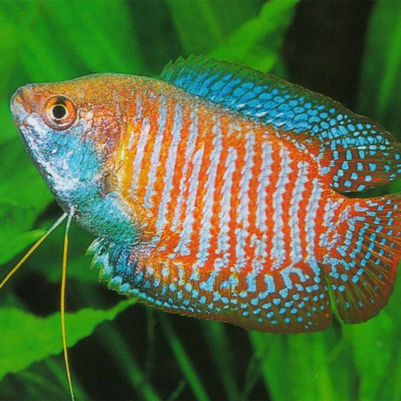 Goldfish aquarium and goldfish species on pinterest for Types of freshwater aquarium fish