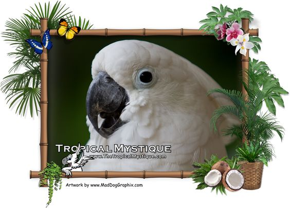 Mojo is our umbrella Cockatoo living with us here on the Tropical Mystique.  View more photos from the Philippines on our website.  On facebook: www.facebook.com/TheTropicalMystique Website: www.TheTropicalMystique.com  Private short or long term rentals located in the Philippines.