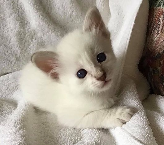 Available Kittens Balinese In 2020 Kittens Balinese Cat Kitten For Sale