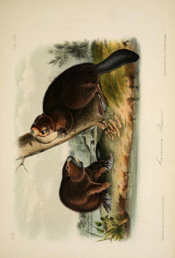 Beaver. The quadrupeds of North America. v.1.  New York,V.G. Audubon,1851-54.  Biodiversitylibrary. Biodivlibrary. BHL. Biodiversity Heritage Library