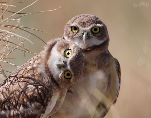 Burrowing Owls (photo By Ron Dudley)