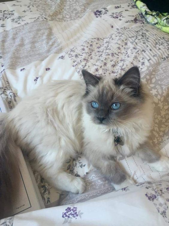 Male Ragdoll Kitten For Sale Ragdoll Kittens For Sale Ragdoll Kitten British Shorthair Kittens