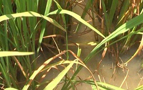 Dự báo sâu bệnh trên lúa và cây trồng tới ngày 31.8  Tại các tỉnh phía Bắc, bệnh bạc lá phát sinh tăng trên giống nhiễm và các vùng thường nhiễm nặng, nhất là sau mưa ẩm.