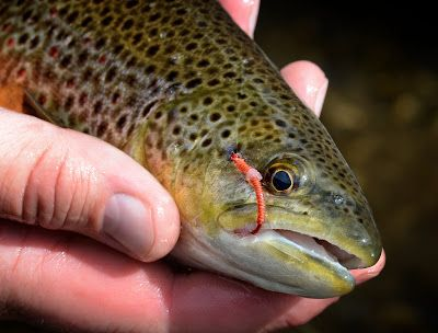 Fly Fish Food - worms