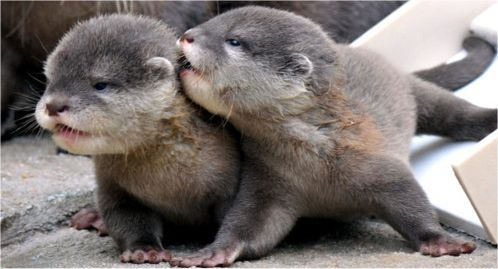 adorable, baby otters, bestfriends, BFF, cuddly, cuteness, furry, love, sea creatures, soft, sweet, swimming, wildlide