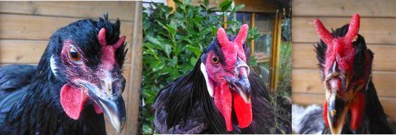 La Flèche - Eine teuflisch schöne Hühnerrasse