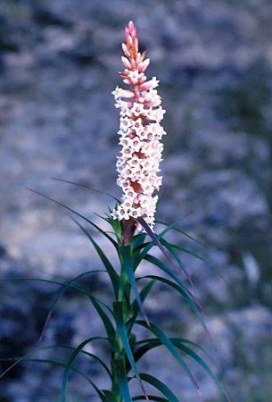 Dracophyllum secundum