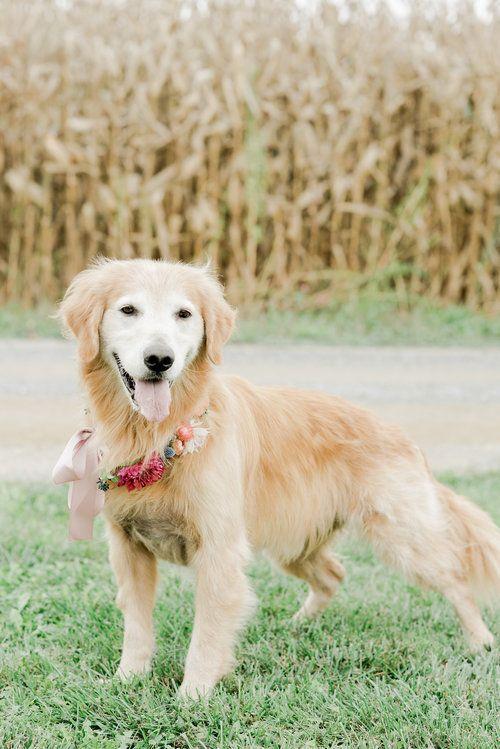 Golden Retriever Pet Photo Shoot By Rachel Pearlman Photography