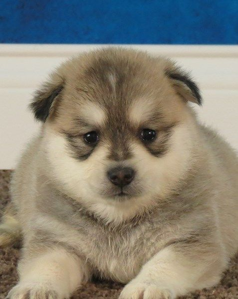 Puppies Pine Haven Puppies In 2020 Puppies Puppies For Sale Pomsky