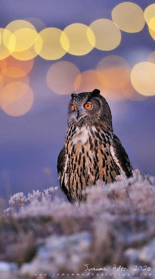 Owl via Paradise of Birds on Facebook