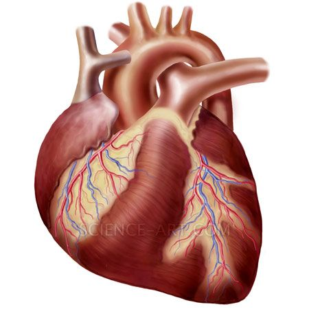 Human heart and Heart on Pinterest