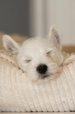 sleepy puppy ~ white on white