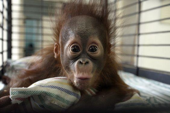 Four month old Rizki, a cute baby orangutan.