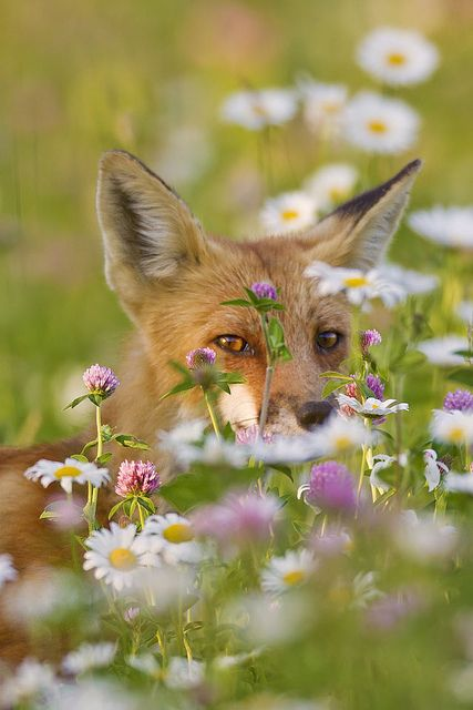 """Photographer: Jeff Dyck ~ """"Fox in the Flowers"""" ~ """"I was set-up in the long grass at the edge of the water at a local marsh trying to photograph Black Terns fishing when I heard something right behind me - startled, I turned and found this young fox walking through the grass about 6 feet from me! He moved about 20 feet past me then turned back to check me out. I had an 800mm lens mounted and was unable to get the entire fox in the shot, but ended up with this portrait."""" ~ Beautiful! ♥"""