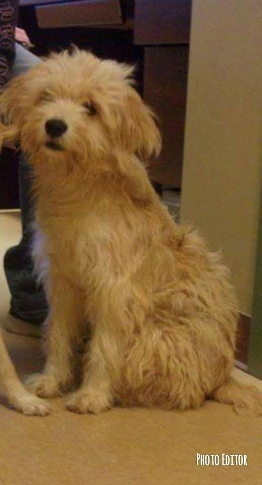 Adopt Tramp On Pet Adoption Schnauzer Puppy Adoption