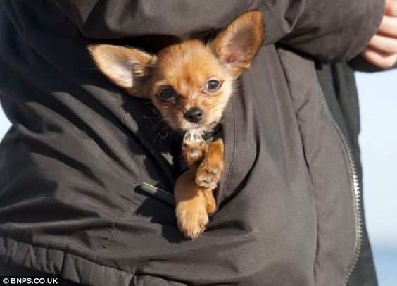 Dogs of the same breed weigh double what Mini does at this age, but the Yorkshire terrier-Chihuahua cross still got to enjoy her stroll before relaxing in a pocket