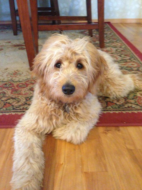 Roobin. My second favorite Goldendoodle!