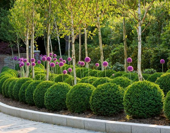 Beautiful box topiary and giant alliums...: