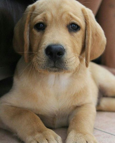 Pin By Kim Leis On Yellow Lab Lab Puppies Labrador Retriever