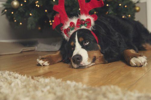 Finding Neverland Tiere Sennenhund Weihnachtszeit