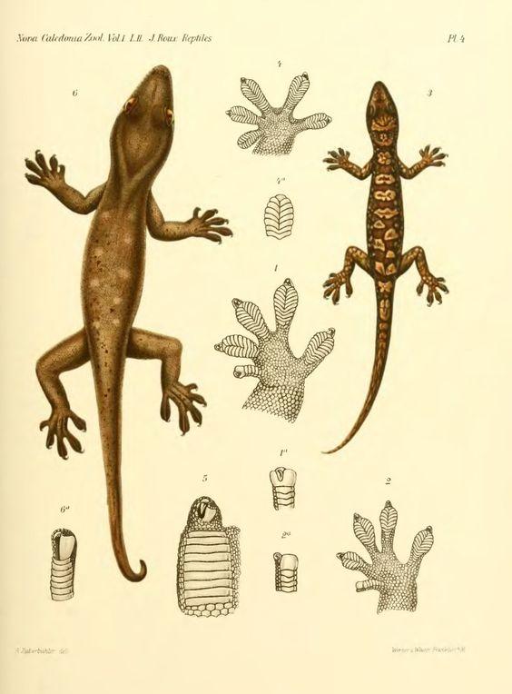 Les reptiles de de la Nouvelle-Calédonie et des îles Loyalty - BioStor