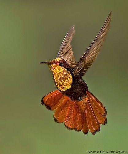 A Ruby Topaz Hummingbird- Costa Rica by David G Hemmings: